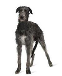 Pedigree® Irish Wolfhound