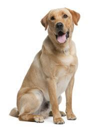 Pedigree® Labrador Retriever
