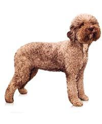 Pedigree® Lagotto Romagnolo