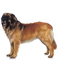 Pedigree® Leonberger