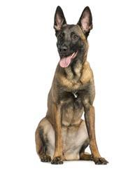 Pedigree® Malinois