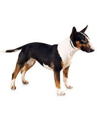 Pedigree® Miniature Bull Terrier