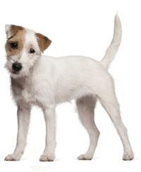 Pedigree® Parson Russel Terrier