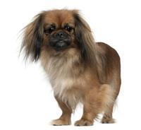 Pedigree® Pekinese