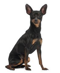 Pedigree® Pinscher