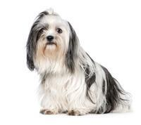 Pedigree® Shih Tzu