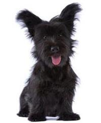 Pedigree® Skye Terrier