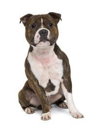 Pedigree® Staffordshire Bull Terrier