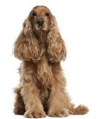 Pedigree® Sussex Spaniel