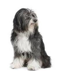 Pedigree® Tibet-Terrier