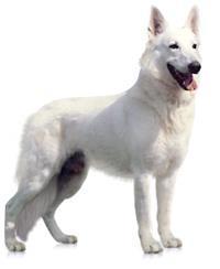Pedigree® Weißer Schweizer Schäferhund