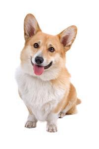Pedigree® Welsh Corgi