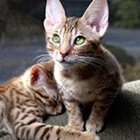 Die Savannah Katze