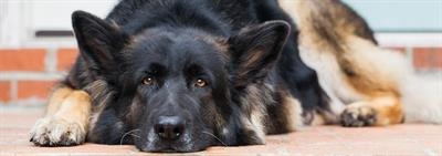Overstappen van puppyvoeding naar voeding voor volwassen honden