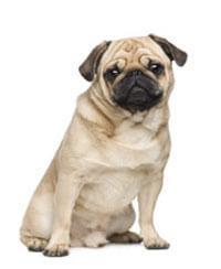 Afbeeldingsresultaat voor mops hond