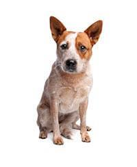 Australische Cattle Dog