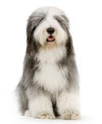 Pedigree® Bearded Collie
