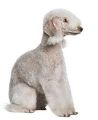 Pedigree® Bedlington Terriër