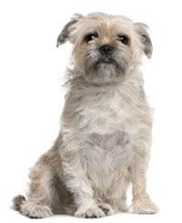 Pedigree® Brussels Griffon