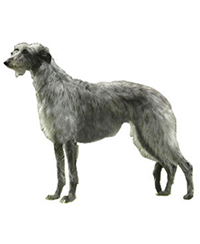 Pedigree® Deerhound