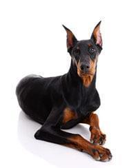 Pedigree® Doberman