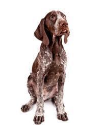 Duitse Staande Hond Korthaar