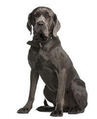 Pedigree® Mastiff
