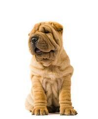 Pedigree® Shar-Pei