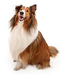 Pedigree® Shetland Sheepdog