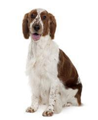 Pedigree® Welsh Springer Spaniël