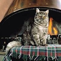 Exotická krátkosrstá kočka