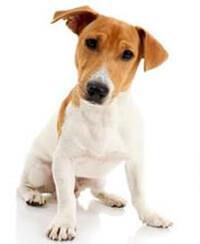 Jack russell terrier intelligent und ehrgeizig pedigree - Jack russel queue coupee ...
