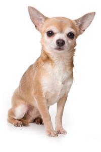 Chihuahua*
