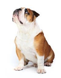 Englische Bulldogge*