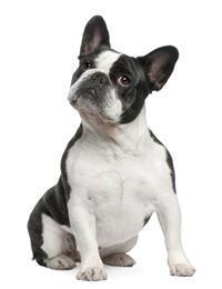 Französische Bulldogge*
