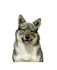Vallhund sueco