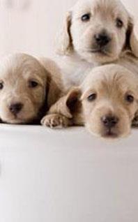 chiots et chiens de race. Black Bedroom Furniture Sets. Home Design Ideas