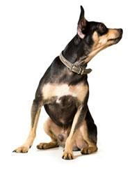Toy Terrier Anglais