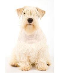 Terrier  de Sealyham