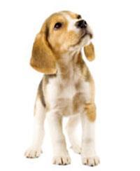 Les chiens de race beagle pedigree - Chien beagle adulte ...