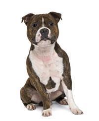 Bull Terrier de Staffordshire