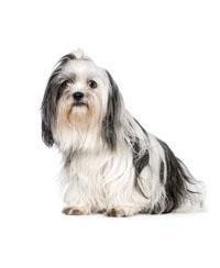 Pedigree® Shih Tzus