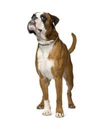 Pedigree® Boxer