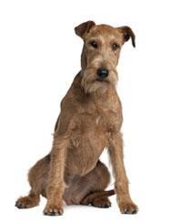 Pedigree® Terrier irlandais