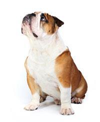 Pedigree® Bulldog anglais