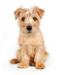 Pedigree® Terrier de Norfolk