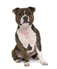 Pedigree® Bull Terrier de Staffordshire