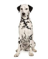 Pedigree® Dalmatien