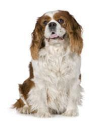 Pedigree® Cavalier King Charles