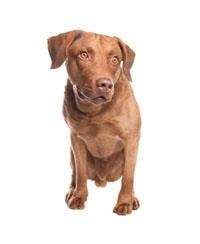 Pedigree® Retriever de la Baie de Chesapeake